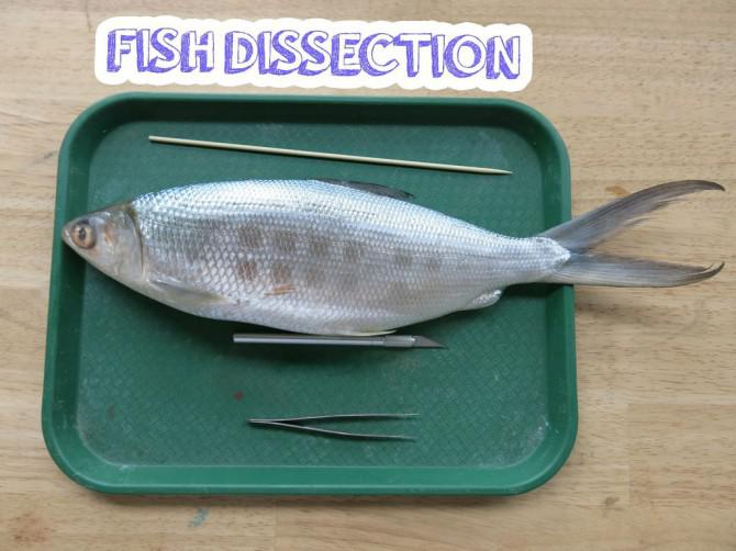 Fisch Dissection!