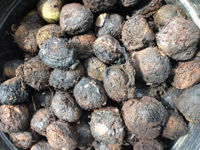 Black Walnut Ernte & Verarbeitung