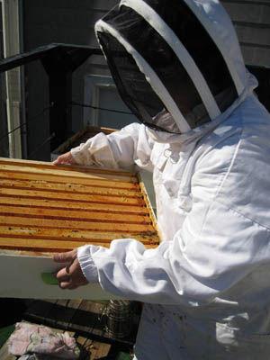 Honigernte und Extraktion